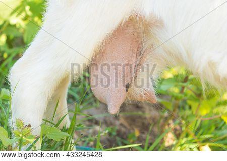 The Goat Teat Full Of Milk Close Up.