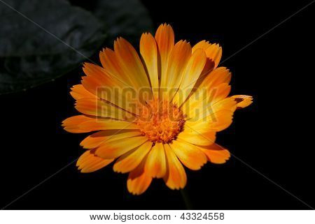 Orange Chamomile On Black