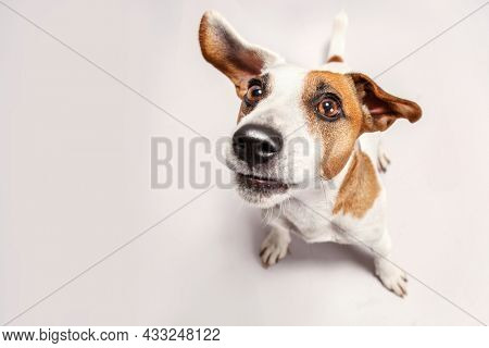 Playful jack russell dog with flying ears. Top view