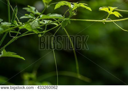 The Shoots Of The Forest Bitter Melon Plant With Fresh Green Tendrils, For The Background With The C