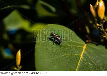 Calliphoridae Also Known As Blow Flies, Blow-flies, Carrion Flies, Bluebottles, Green Bottles, Or Cl