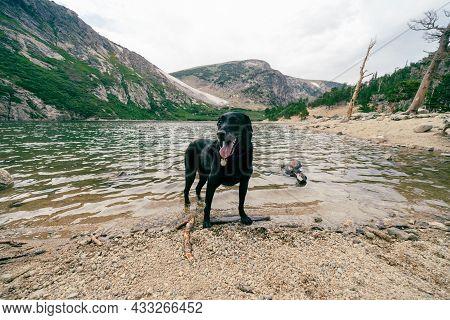 Black Labrador Retriever Dog In The Lake At St Marys Glacier Colorado
