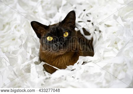 Burma Cat Lying In Filler Box Packaging, Cute Brown Burmese Cat Plays With White Confetti Strips. Pl