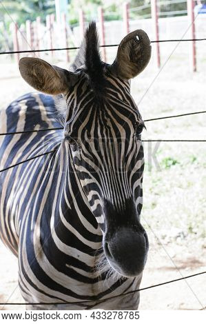Curious Zebra In The Zoo In Salvador, Bahia, Brazil. Zebras Are Mammals That Belong To The Horse Fam