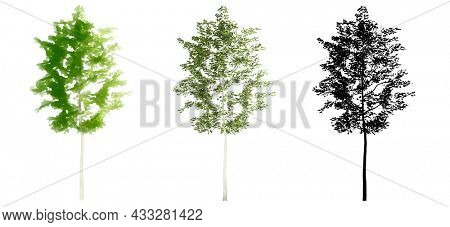 Set or collection of American Beech trees, painted, natural and as a black silhouette on white background. Concept or conceptual 3d illustration for nature, ecology and conservation, strength, enduran