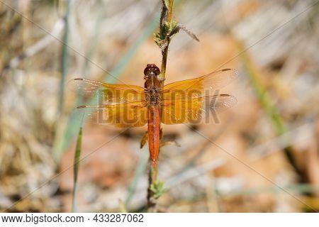 Flame (firecracker) Skimmer Sunbathing On A Plant. Santa Clara County, California, Usa.