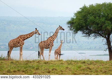 Baringo Giraffe (giraffa Camelopardalis), Murchison Falls National Park, Uganda