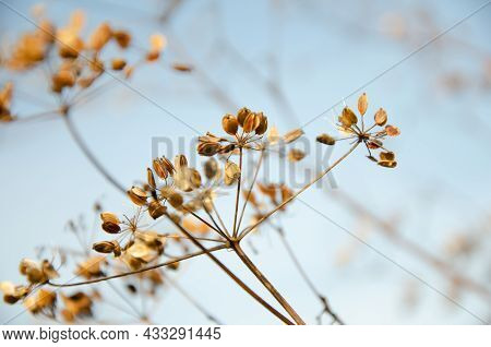 Selective Focus Inflorescences Of Dry Grass On Background Of Blue Sky With Copy Space. Withered Dry
