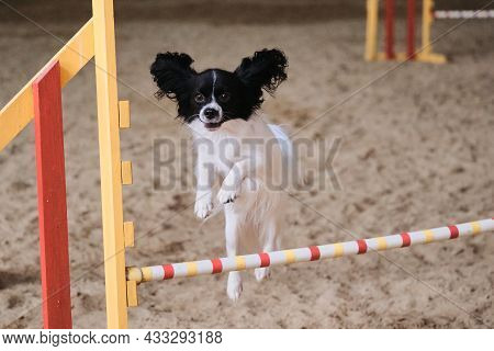 Continental Toy Spaniel Papillon Of White And Black Color Runs Fast And Jumps High Over Barrier At A