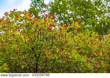 Branch Of Acer Ginnala On Blue Sky Background. Tatar Maple L. Acer Tataricum