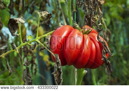 Heirloom Tomato Growing On Green Branch In The Garden Harvest Autumn