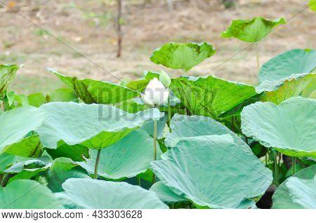 Lotus Or White Lotus In The Pond, Indian Lotus