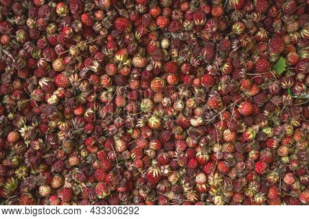View From Above On Harvest Of Creamy Strawberry Or Fragaria Viridis Species Of Wild Strawberry That