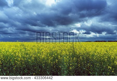 Yellow Rape Plants In Bloom With Dark Stormy Skies Above It