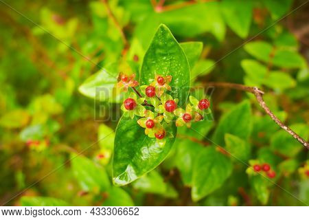 A Shallow Focus Shot Of A Beautiful Blooming Hypericum. St. John's Wort Flowers In Bloom In Springti