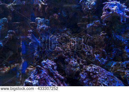 Underwater Background View Of  Long-spined Sea Urchin (diadema Savignyi)