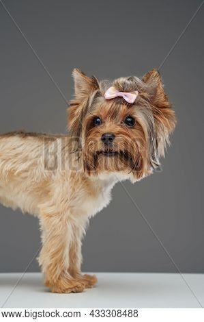 Small Cute Doggy Yorkshire Terrier Breed Isolated On Gray