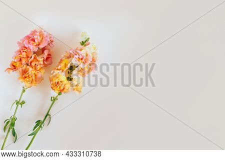 Pink And Yellow Flowers Of Snapdragon Or Antirrhinum Majus On A Pastel Background. Place For Text. F