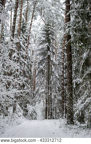 Road In The Winter Forest. Tall Trees With Snow On The Branches. Winter Frosty Day In The Forest.