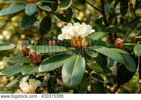Creamy White Rhododendron Blooming At Sunny Spring Day. Close Up Photo Of White Rhododendron Blossom