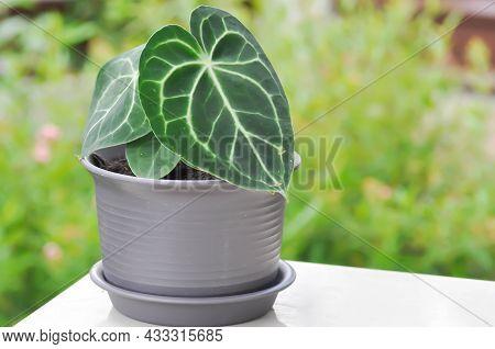 Anthurium Clarinervium, Anthurium Crystallinum Or Anthurium Hybrid Plant