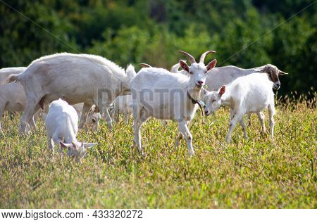 A Herd Of Goats Grazes In The Meadow. Farming. Self-walking Goat. Farm Pasture. Summer Day. Goats Ea