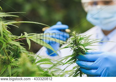 Researchers Or Scientists Are Examining Hemp Plants In Greenhouses. Cannabis Research Cbd Oil Altern