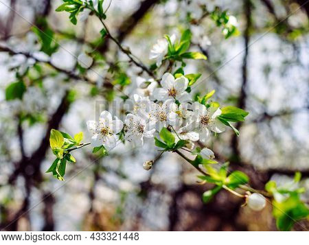 Close-up Of A Blooming Apricot Tree Branch In Spring