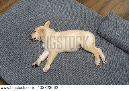 Male Golden Retriever Puppy Sleeping On The Couch In The Living Room Of The House, View From Above.