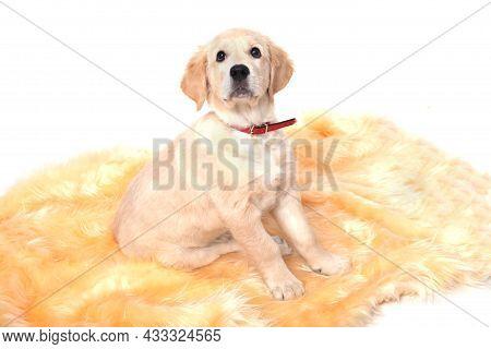 A Beautiful Labrador Puppy Sits On A White Background. A Beautiful Purebred Labrador Retriever Puppy