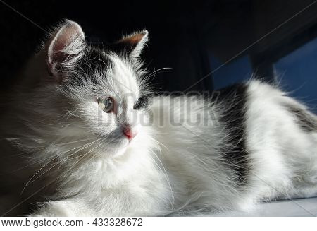 Domestic Black And White Cat Looks Towards The Window In The Warm Rays Of The Sun. Cold Tones. Selec