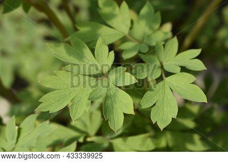 Bleeding Heart Leaves - Latin Name - Lamprocapnos Spectabilis (dicentra Spectabilis)