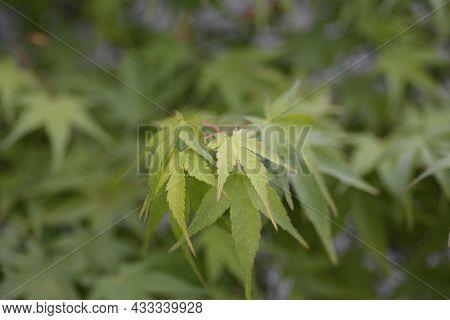 Japanese Maple Leaf - Latin Name - Acer Palmatum