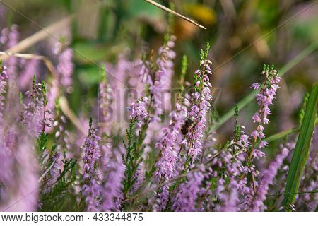 Mixed Forest, Young Birches And Pines. It Is Fall, And The Ground Is Covered With Purple-blooming He