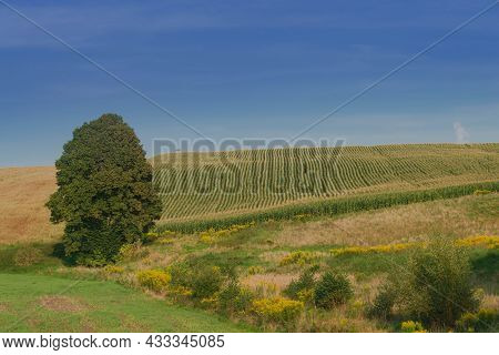 Meadows And Fields In Undulating, Uneven Terrain. A Lonely Tall, Deciduous Tree. The Meadow Is Overg