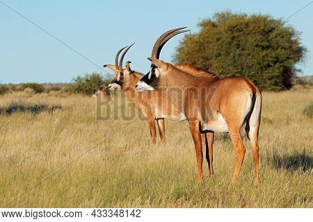 Rare roan antelopes (Hippotragus equinus) in natural habitat, South Africa