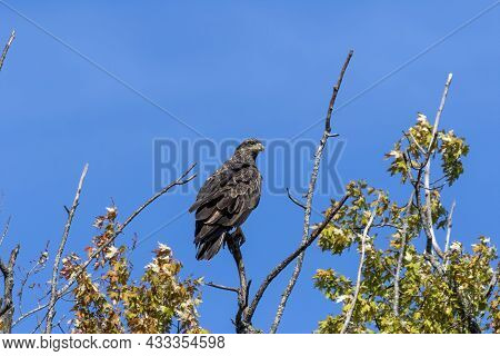Young Bald Eagle, Native American Animal And American Symbol
