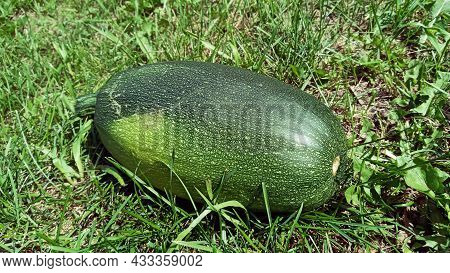 A Large Round Zucchini Of Green Color. Zucchini In The Garden