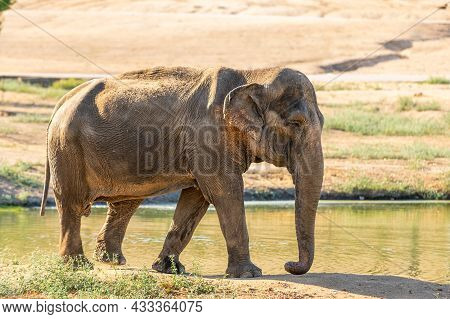 Indian Or Asian Elephant, Elephas Maximus Indicus, Beside A Pond In A Zoo