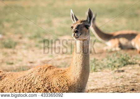 Beige Or Brown Llama, Lama Glama, Looking To Its Habitat In A Natural Park