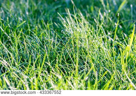 Wet Lawn. Green Grass With Water Drops. Dew In The Sunlight.