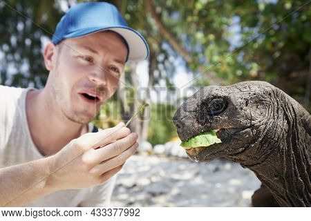 Man Feeding Aldabra Giant Tortoise In Seychelles. Turtle Stretching Its Long Neck And Eating Leaf.