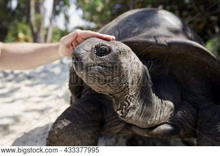 Close-up View Of Human Hand Stroking Aldabra Giant Tortoise On Head, Seychelles.