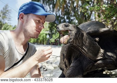 Man With Aldabra Giant Tortoise In Seychelles. Turtle Stretching Its Long Neck For Leaf.