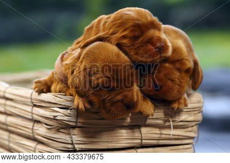 English Cocker Spaniel, Golden Puppy Week Old On Sofa. Little Golden Cocker Spaniel In A Basket. Thr