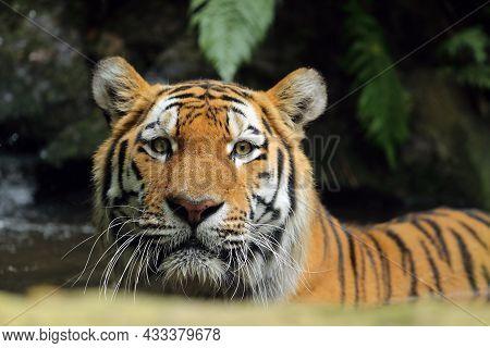 The Siberian Tiger (panthera Tigris Tigris), Also Called The Amur Tiger (panthera Tigris Altaica) Po