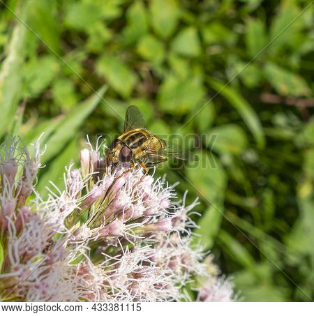 Resting Hoverfly On A Flower Head In Natural Sunny Ambiance