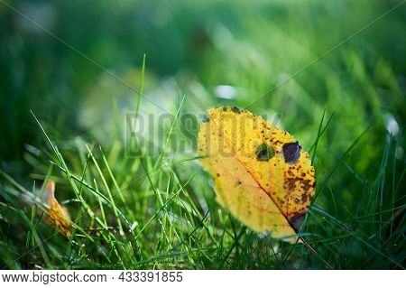 Yellow Autumn Apple Tree Leaf Translucent, Selective Focus On Green Grass. Closeup Shot Of Apple Tre