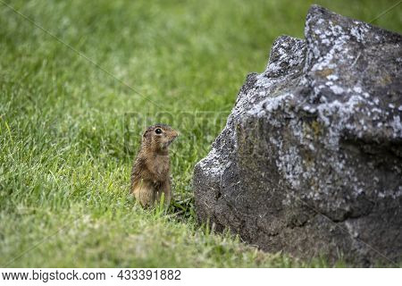 Thirteen-lined Ground Squirrel (ictidomys Tridecemlineatus) On The Meadow.