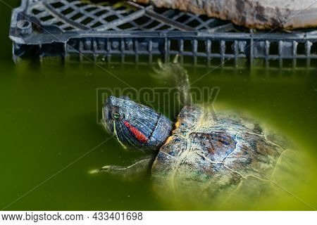 The Striped Turtle With Green Eyes And A Red Stripe On Its Head Swims In Green Dirty Water Next To A